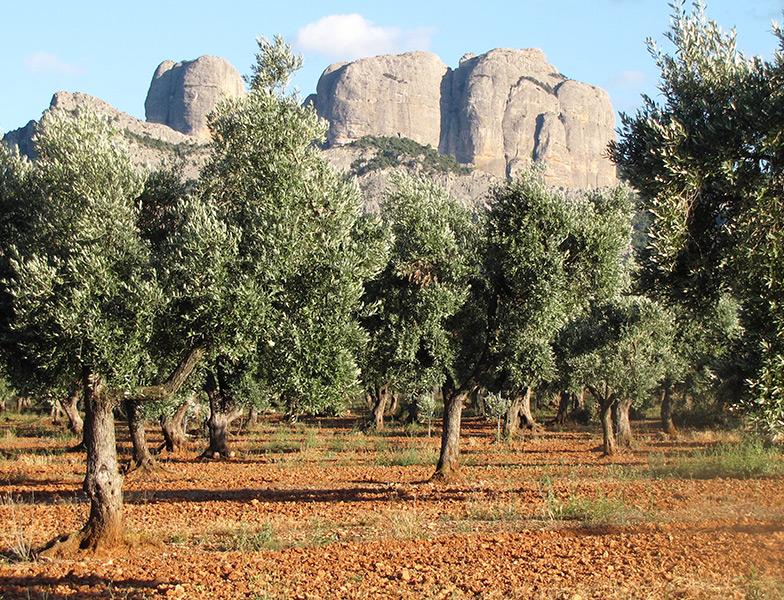 Entorno de los aceites de oliva extra